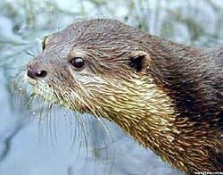 речная выдра (Lutra lutra), фото, фотография с http://biodiversitysussex.org/