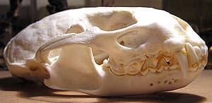 череп выдры (Lutra lutra), фото, фотография с http://zoo-muzeum.wz.cz/