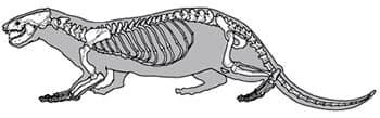 Скелет выдры (Lutra lutra), рисунок картинка с http://archeozoo.org/