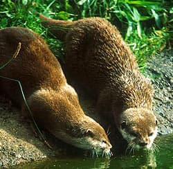 Выдра, речная выдра (Lutra lutra), фото фотография с http://wildlifetrust.org, куньи