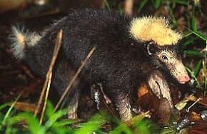 индонезийский вонючий барсук, вонючий индонезийский барсук (Mydaus javanensis), фото, фотография с http://badgers.org.uk/badgerpages/