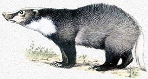 теледу, свиной барсук (Arctonyx collaris), фото, фотография