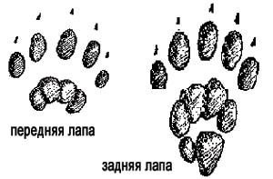 следы западного пятнистого скунса (Spilogale gracilis), фото, фотография