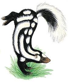 западный пятнистый скунс (Spilogale gracilis), фото, фотография