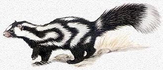 восточный пятнистый скунс (Spilogale putorius), фото, фотография с