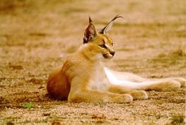 каракал, азиатский каракал, пустынная кошка (Felis caracal), фото, фотография