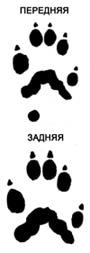следы куницы американской (Martes americana), фото, фотография с http://dnr.state.wi.us/