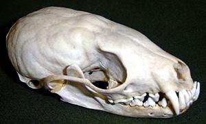 череп американской куницы (Martes americana), фото, фотография с http://beaconhillbiological.com/