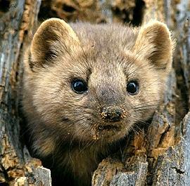 американская куница (Martes americana), фото, фотография с http://wildernessclassroom.com/