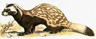 перевязка (Vormela peregusna), фото, фотография с http://frettcheninfos.de/