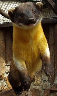 харза (Martes flavigula), фото, фотография с http://biolib.cz/