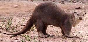 гладкошерстная выдра (Lutrogale perspicillata), фото, фотография с http://furgetmenot.org.uk/, Jerry Liew