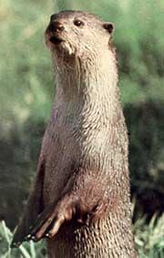 выдра гладкошерстная (Lutrogale perspicillata), фото, фотография с http://terrambiente.org/