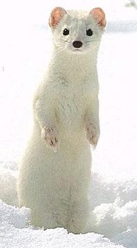 степной хорек (Mustela erminea), фото, фотография с http://es.geocities.com/