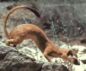 колумбийская ласка (Mustela felipei), фото, фотография с http://todohurones.com