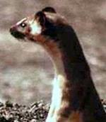 ласка колумбийская (Mustela felipei), фото, фотография с http://animalpicturesarchive.com