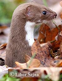 обыкновенная ласка (Mustela nivalis), фото, фотография с http://naturfoto.cz.de