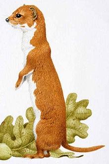 колонок (Mustela sibirica), фото, фотография