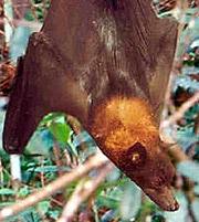 ацеродон золотошапочный (Acerodon jubatus), фото, фотография с http://ecologyasia.com/