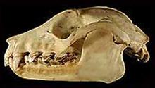 ацеродон гривастый, ацеродон золотошапочный (Acerodon jubatus), фото, фотография с