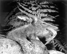 коричневый антехинус обедает крупным насекомым, фото, фотография