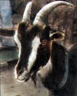 коза, коза домашняя, фото, фотография
