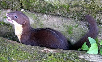 темно-полосатая ласка (Mustela strigidorsa), фото, фотография с http://amuseum.cdstm.cn/