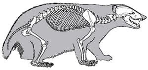 скелет барсука (Meles meles), фотография, фото с http://archeozoo.org