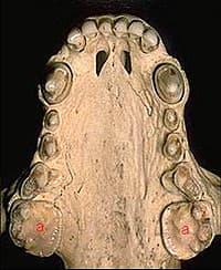 верхняя челюсть барсука (Meles meles), фотография, фото с http://chickensinsaskatoon.blogspot.com