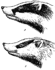 вверху рисунок на морде европейского барсука, внизу - азиатского барсука. вид сбоку (Meles leucurus), картинка с http://piterhunt.ru
