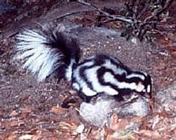 южный пятнистый скунс (Spilogale angustifrons), фото, фотография с http://upload.wikimedia.org/