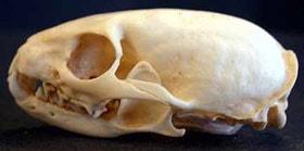 череп африканской ласки (Poecilogale albinucha), фото, фотография с http://zoo.bf.jcu.cz/