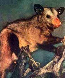 Североамериканский опоссум, опоссум (Didelphis azarae), фото, фотография сумчатые животные