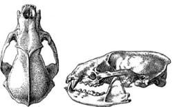 череп японского барсука (Meles meles anakuma), фото, фотография с