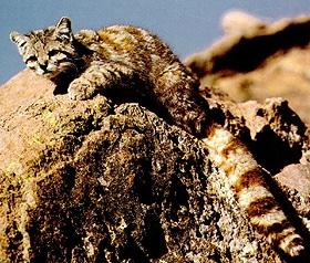андская кошка (Oreailurus jacobita, Leopardus jacobitus), фото, фотография с http://animalpicturesarchive.com/