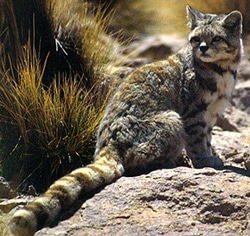 кошка андская (Felis jacobita), фото, фотография с http://animalpicturesarchive.com/