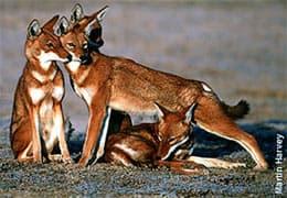эфиопский волк, эфиопский шакал (Canis simensis), фото, фотография с www.wolf.org