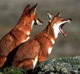 эфиопский волк, абиссинский волк (Canis simensis), фото, фотография с