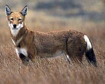 эфиопский волк, красный шакал (Canis simensis), фото, фотография с