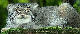 палассов кот, манул (Felis manul, Otocolobus manul), фото, фотография с