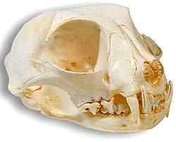череп манула (Felis manul, Otocolobus manul), фото, фотография с
