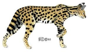 сервал, кустарниковая кошка (Felis serval, Leptailurus serval), рисунок, картинка