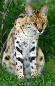 кустарниковая кошка (Leptailurus serval), фото, фотография