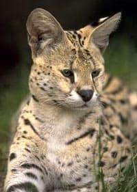 сервал (Felis serval), фото, фотография