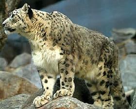 ирбис, снежный леопард (Uncia uncia), фото, фотография с