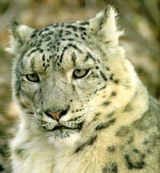 cнежный барс, снежный леопард (Uncia uncia), фото, фотография с