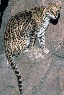 оцелот (Felis pardalis, Leopardus pardalis), фото, фотография