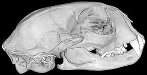 череп самки оцелота (Felis pardalis, Leopardus pardalis), фото, фотография