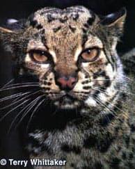мраморная кошка (Pardofelis marmorata), фото, фотография