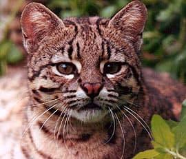 кошка Жоффруа (Leopardus geoffroyi, Felis geoffroyi, Oncifelis geoffroyi), фото, фотография